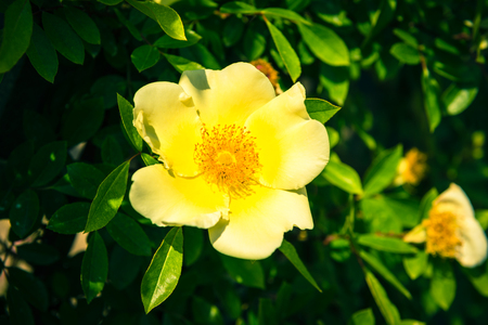 dogroses: Bush of beautiful yellow dog-roses in a garden. Filtered shot