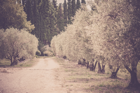 filtered: Olives alley in Provence, France. Horizontal filtered shot