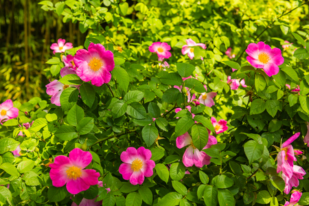 dogroses: Bush of beautiful pink dog-roses in a garden. Horizontal shot