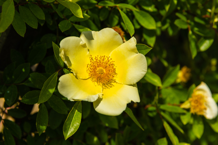 dogroses: Bush of beautiful yellow dog-roses in a garden. Horizontal shot