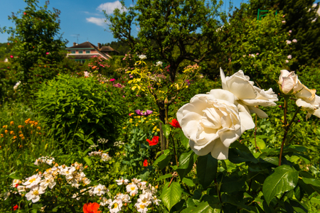faded: Faded beautiful white roses in a garden. Horizontal shot Stock Photo