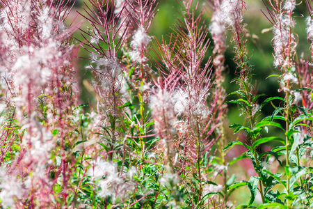 fluffy: Fluffy pink fireweed flowers. Close up shot