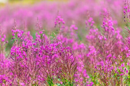 alp: Fluffy pink fireweed flowers. Close up shot