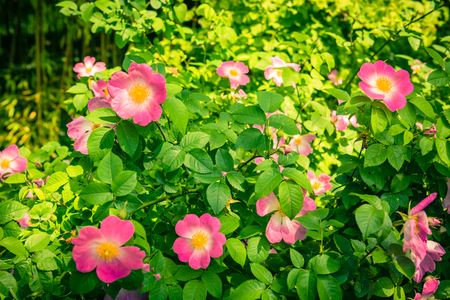 dogroses: Bush of beautiful pink dog-roses in a garden. Filtered shot Stock Photo