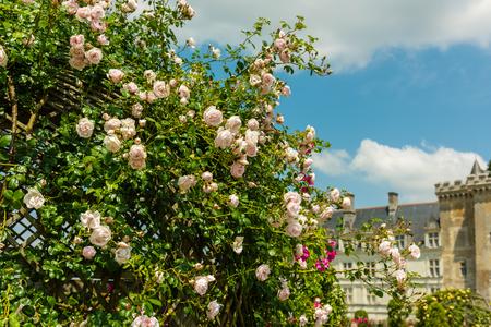 beautiful rose: Bush of beautiful roses in a french garden. Horizontal shot Stock Photo