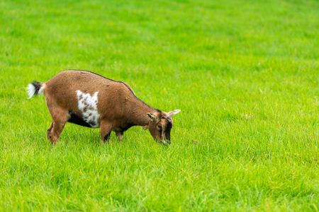 brown goat: one brown goat eating of green grass at farm