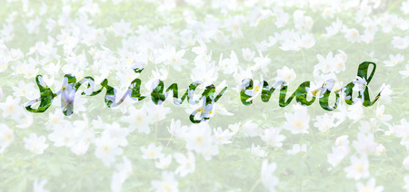 phrase: Inspirational phrase Spring mood on white wild anemons field background Stock Photo