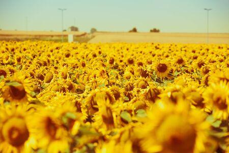 filtered: Bright Summer Sunflowers Field. Horizontal filtered shot Stock Photo