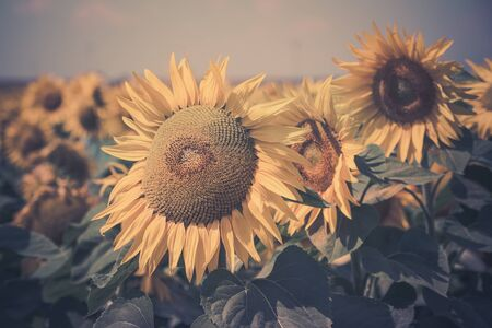 filtered: Sunflowers Field view. Filtered shot with a selective focus