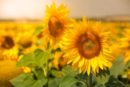 filtered: Bright Summer Sunflowers Field. Horizontal filtered shot Stock Photo