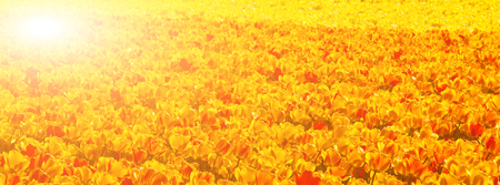 Multicolored tulip field in Holland. Long wide banner with solar effect