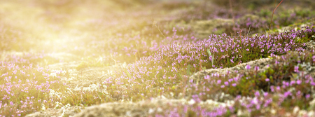 Blooming moss growing on lava and stone fields in Iceland. Long wide banner with solar effect