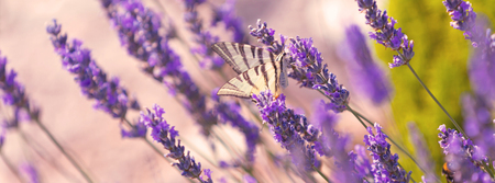 Butterfly at Lavender Bush. Close Up Long Banner