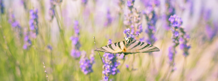 Butterfly at Lavender Bush. Long banner Stock Photo