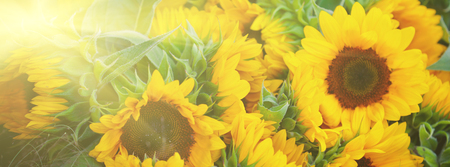 Decorative Sunflowers bunch. Long wide banner