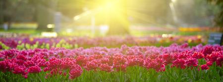 Tulips at sunset light. Bright flowerbed in Keukenhof. Long banner