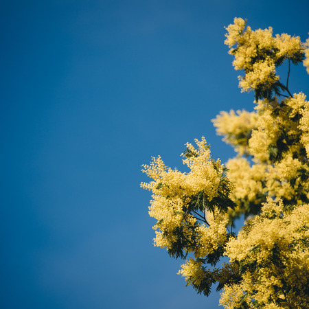 Yellow blooming of mimosa tree in spring. Blue sky as a background. Stock Photo