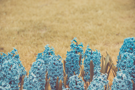 Hyacinths in an infrared style on a meadow. Copy space Stock Photo