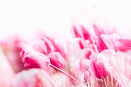Pink tulips field in the Netherlands. Double exposure and light leaks added Stock Photo