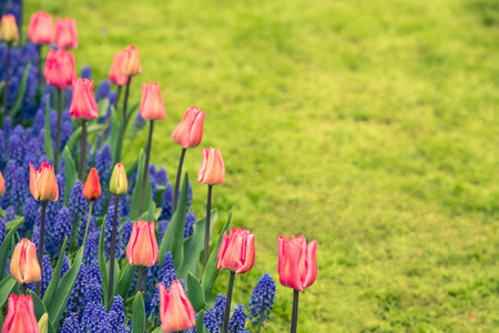 Pink tulips and Muscari hyacinth field in the Netherlands. Horizontal shot