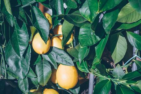 Lemon tree in a pot. Filtered shot  写真素材