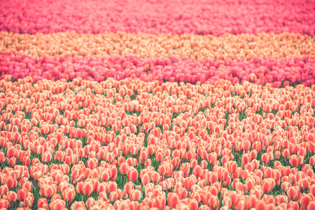 Multicolored tulips field in the Netherlands. Horizontal shot