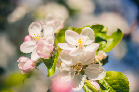 Apple blossoms over blurred nature background. Spring flowers creative macro image with bokeh. Shallow depth of field
