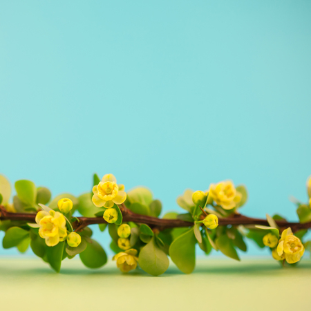 Spring blossoming barberry branch with green leaves, barbs and yellow flowers on square pastel color paper background with copy space in minimal style, template for text or design Stock Photo