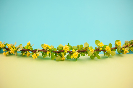 Spring blossoming barberry branch with green leaves, barbs and yellow flowers on pastel color paper background with copy space in minimal style, template for text
