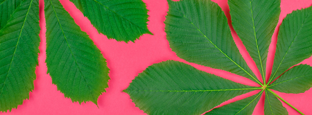Creative flat lay top view pattern with fresh green chestnut leaves on bright paper pink background with copy space in minimal pop art style, floral plant template for text. Long wide banner