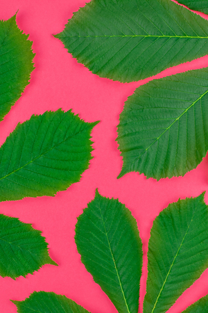 Creative flat lay top view pattern with fresh green chestnut leaves on bright paper pink background with copy space in minimal pop art style, floral plant frame template for text Stock Photo