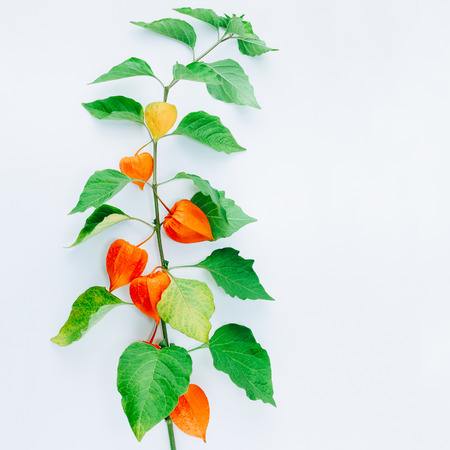 Orange Flower of physalis alkekengi isolated on white background. Withania somnifera. Ashwagandha. Chinese lantern plants, Japanese lantern, bladder cherry, winter cherry. Square image Stock Photo