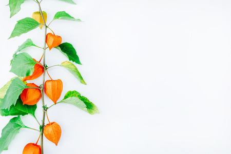 Orange Flower of physalis alkekengi isolated on white background. Withania somnifera. Ashwagandha. Chinese lantern plants, Japanese lantern, bladder cherry, winter cherry Stock Photo