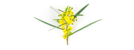 Acacia pycnantha or Mimosa twig with yellow fluffy flowers isolated on white background. Top view with copy space in minimalism style Banco de Imagens