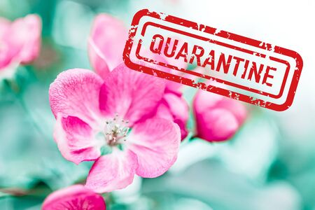 Pandemic lockdown concept. Spring background with blooming bright pink apple tree flowers with red quarantine stamp above it. Stay home during blooming spring in 2020. Self-isolation for safety.