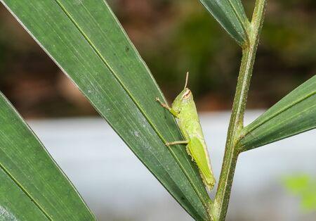 green grasshopper pest animal on palm leave in garden 写真素材