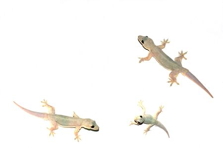 group of lizard on the wall isolated white background with copy space