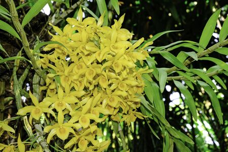 fresh dendrobium yellow flower orchid trees with green leaves hanging on bigger tree.