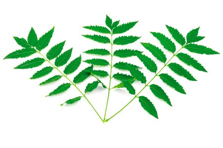 Three branch fresh azadirachta indica green leaves in corner. Plant herb branch. Isolated on white background Archivio Fotografico