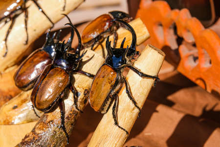 group of insect taxidermy hercules beetle is coleoptera black and brown color. hard wing and arthropod bug in forest.