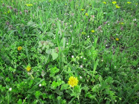 grass plot: Nettles, dandelions and meadow flowers on a glade