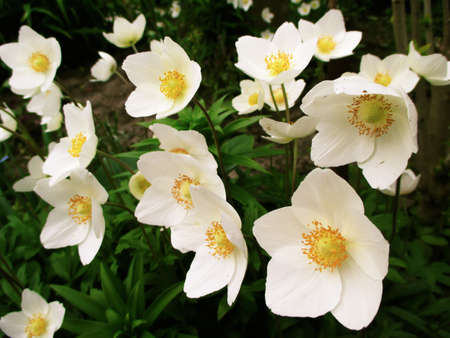 flowering plants: Anemones - early-spring flowering  plants native to meadows