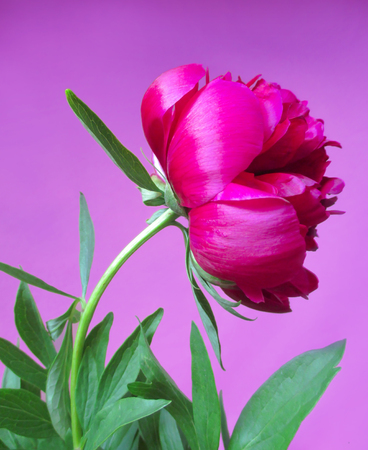 peon: Pink peon flower on a violet background Stock Photo
