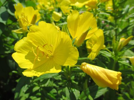 evening primrose: Oenothera (Evening primrose) - yellow garden flowers Stock Photo