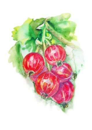 red currant: Red currant berries watercolor painting on white background