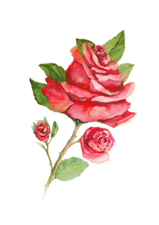 stem: Rose flower with buds on the stem - watercolor painting Stock Photo