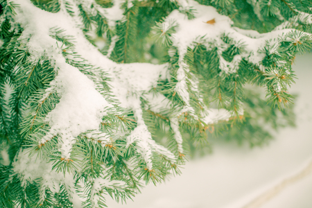 drifts: The spruce branches in the snow on a background the snow drifts Stock Photo