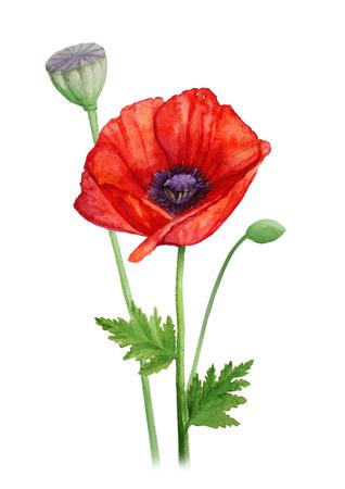 Rojo, amapola, flor, tallo, acuarela, Ilustración Foto de archivo - 72835890