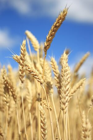Close up of yellow ears of wheat , idea of a rich harvest Stock Photo