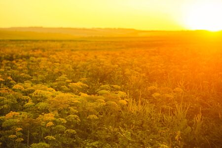 Field with meadow plants on the sunset. Landscape nature photo